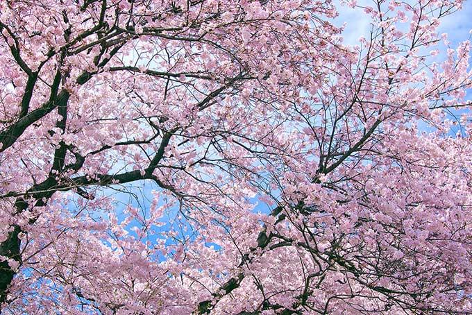 cherry-blossom_00001.jpg